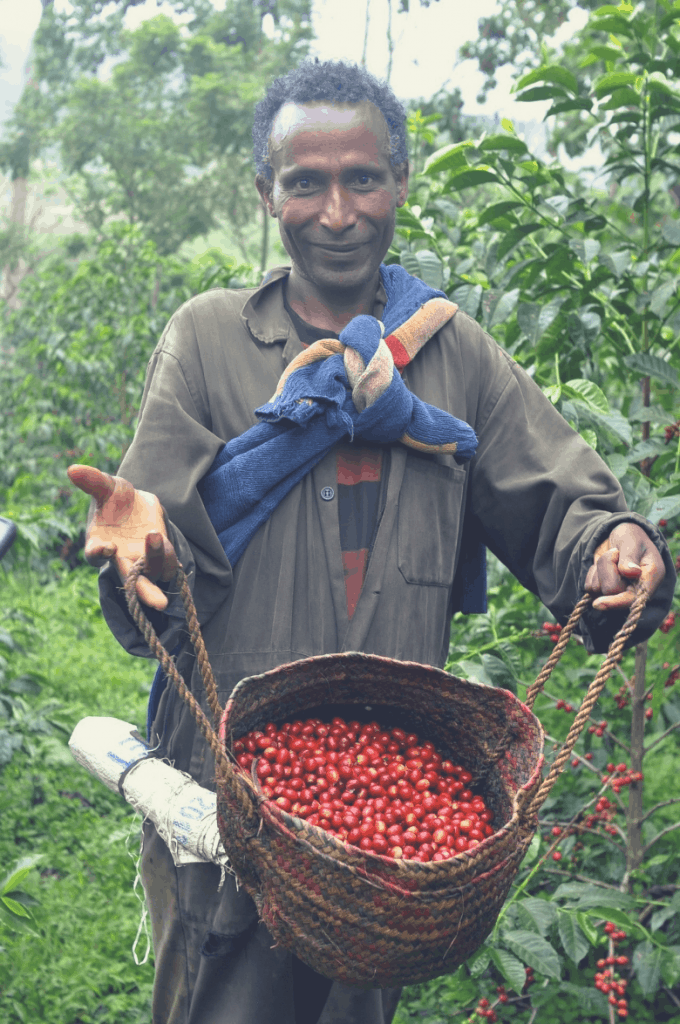 Ethiopian man picking coffee cherries