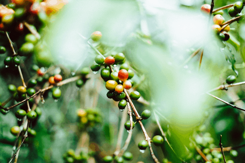 Coffee cherries growing on a tree