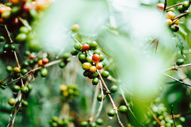 Coffee cherries growing on a tree