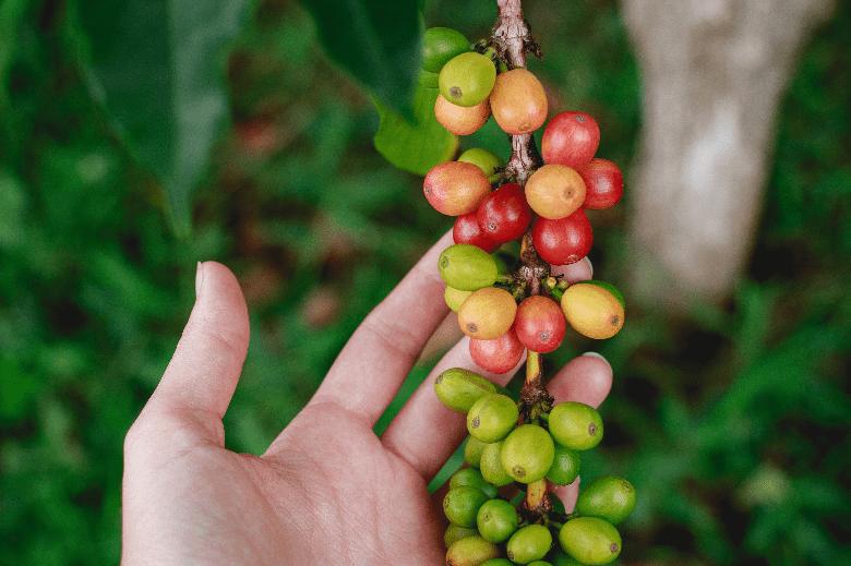 Coffee cherries growing in Kona district