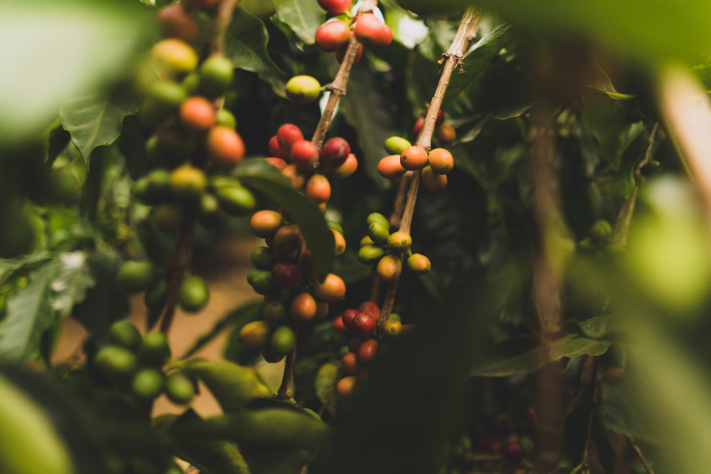 Photo showing coffee cherries at different stages of ripeness