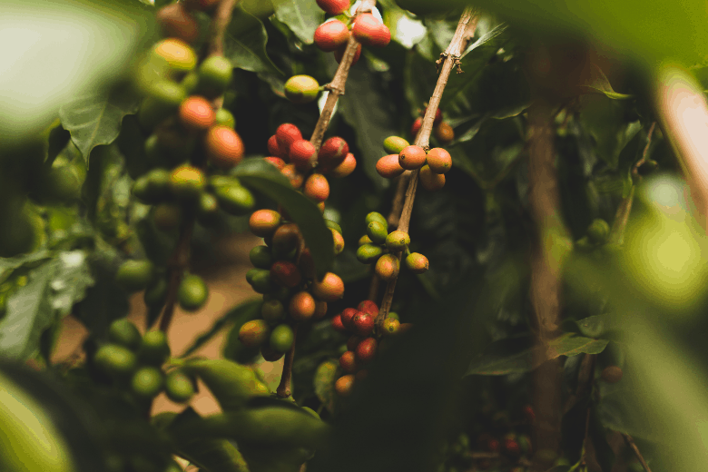 How to coffee grown?